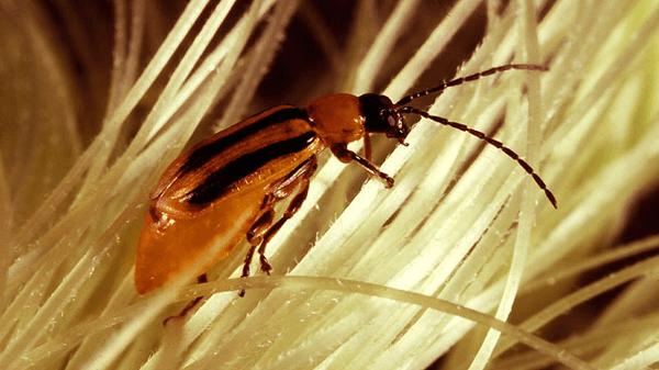 truco - insecticida casero